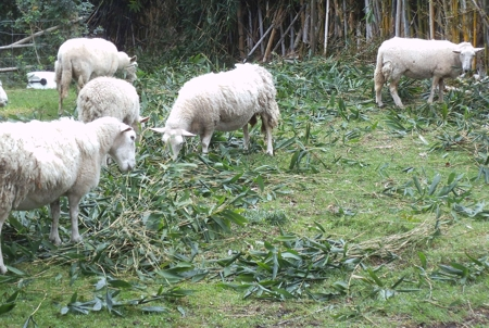Sheep eating young bamboo leaves