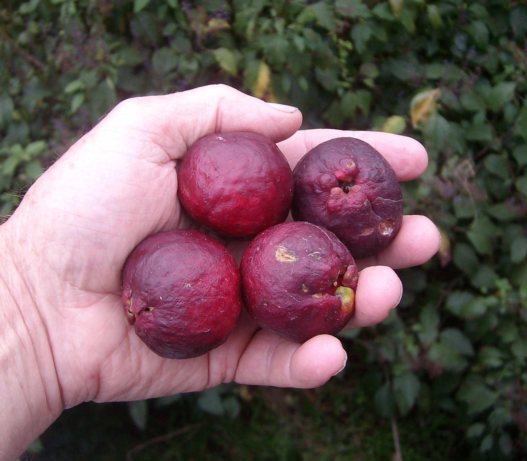 Red Guava species ex DSIR