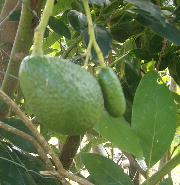 Hass 'cuke'