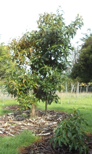 Hass avocado tree pruned to a central leader - before