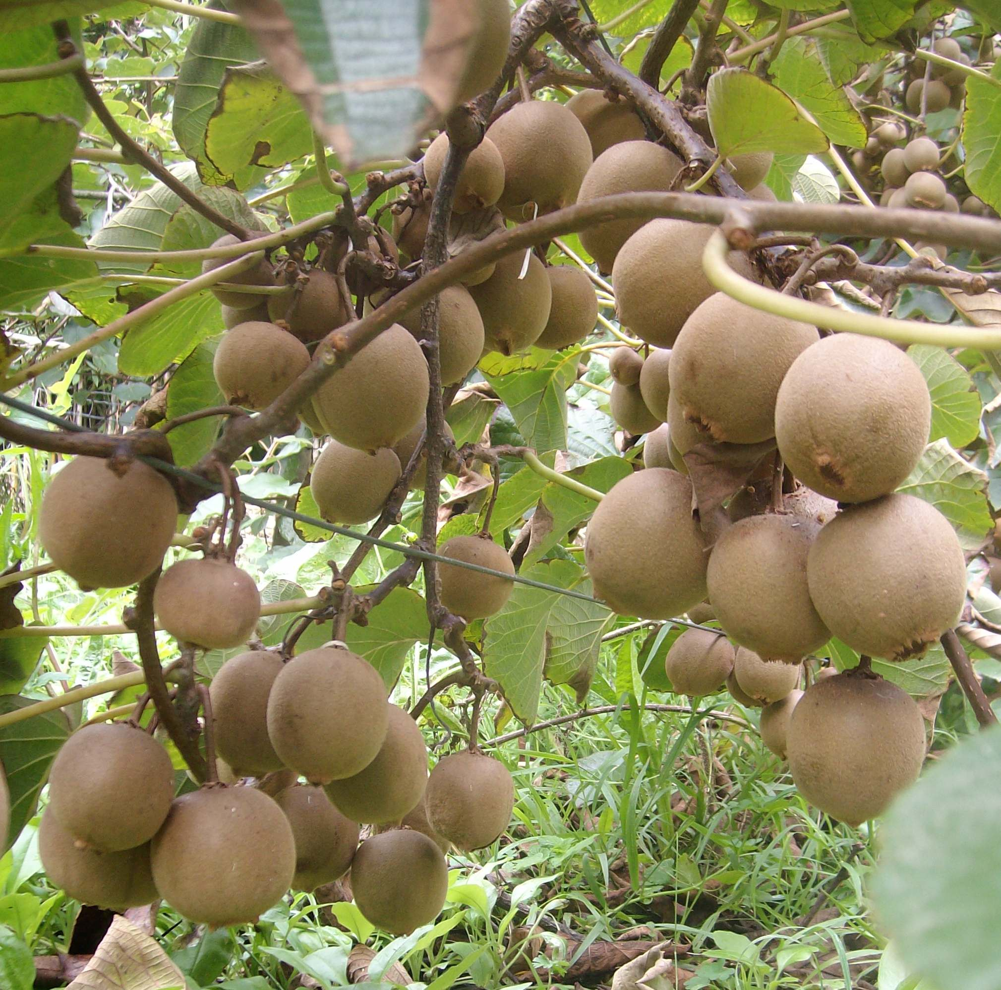 Yellow kiwifruit cultivar Sally