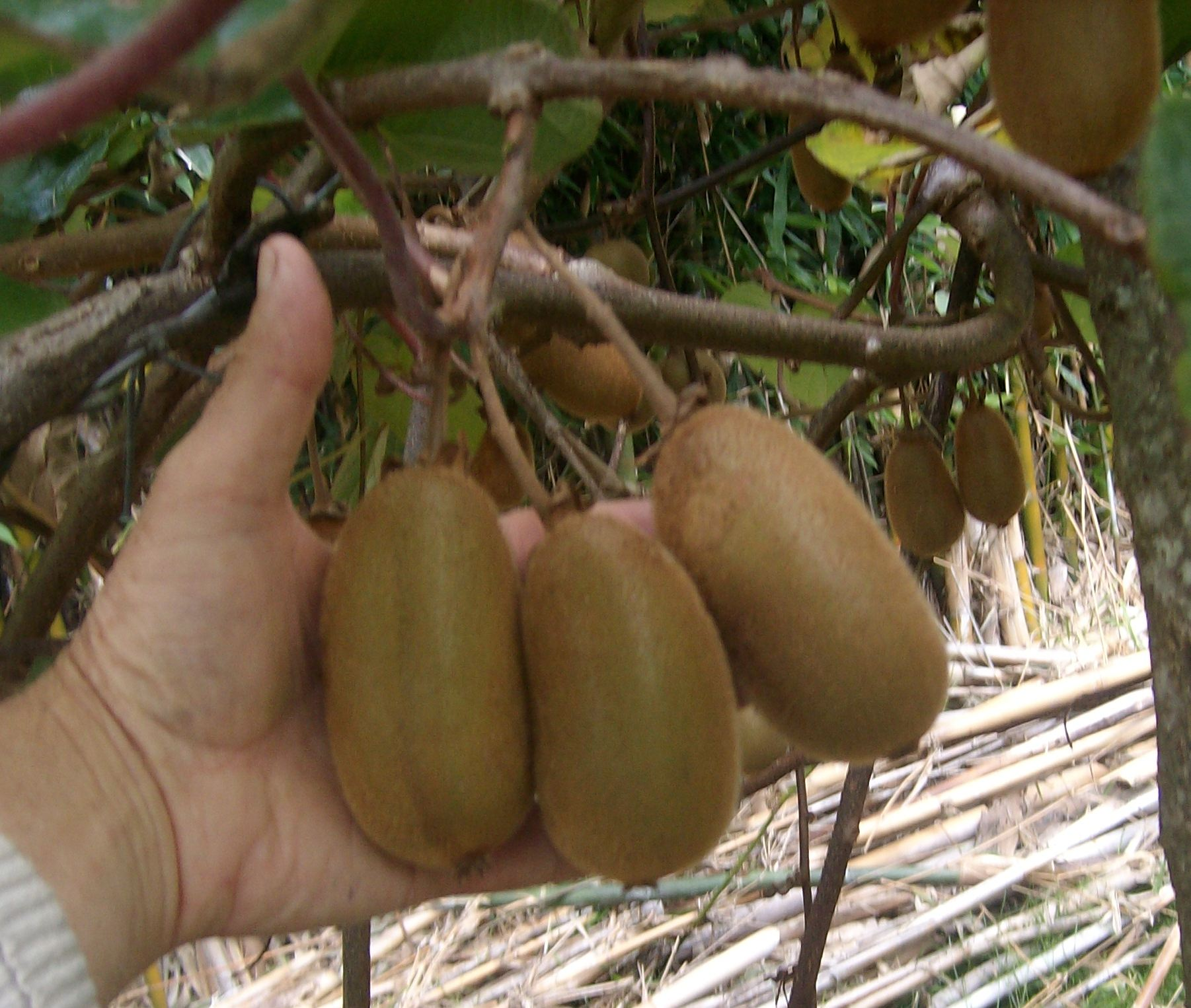 Skelton green kiwifruit variety