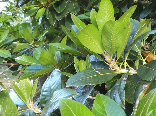 lucuma new growth flush