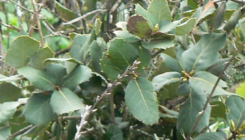 Quercus Rotundifolia Bellota Acorns Holm Oak