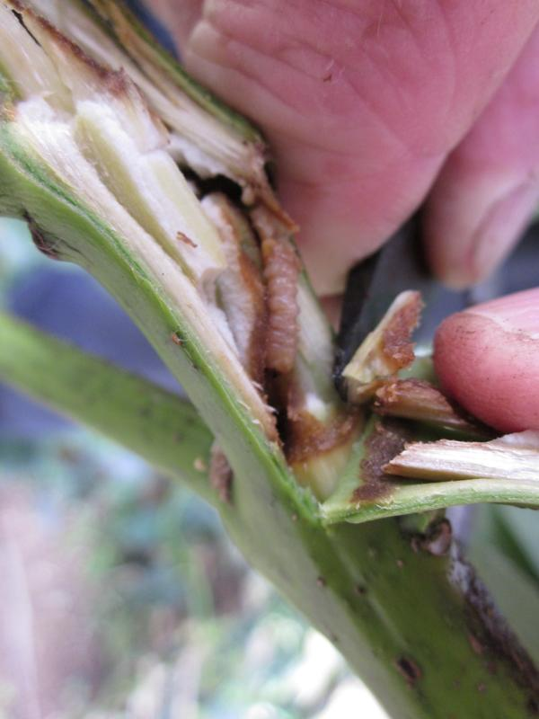 how to keep grasshoppers away from citrus trees