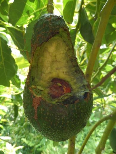 Avocado Pinkerton possum             eaten