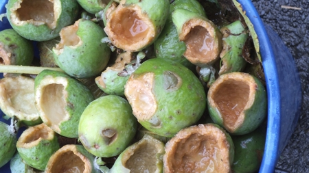 feijoa fruit damaged by
