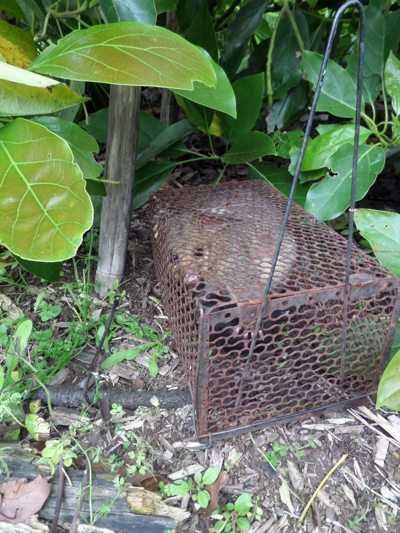 possum in a rat trap