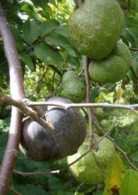 Cherimoya diseased fruit