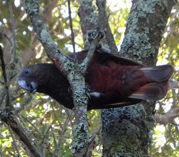 Kaka Nestor meridionalis in Pohutakawa tree