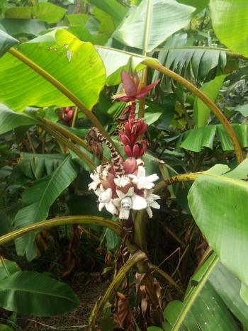 Musa velutina plant